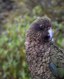 Kea parrot portrait. (Nestor notabilis). It's the world's only alpine parrot live in forested and alpine regions of the South Island of New Zealand Stock Photography