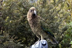 Kea parrot portrait Royalty Free Stock Photo