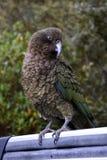 Kea parrot portrait Royalty Free Stock Images