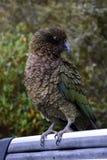 Kea parrot portrait Stock Photos