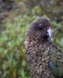 Kea parrot portrait Stock Photography