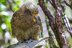 Kea. Parrot Sitting On Rock With Mountain Beech Tree, Arthur`s Pass National Park, South Island, New Zealand Royalty Free Stock Image
