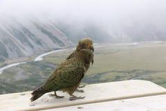 Kea, perroquets alpins Faune du Nouvelle-Zélande photos libres de droits