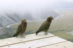 Kea, perroquets alpins Faune du Nouvelle-Zélande image libre de droits