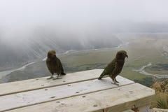 Kea, perroquets alpins Faune du Nouvelle-Zélande images stock