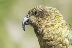 Kea portrait, worlds only alpine parrot only found in New Zealan Royalty Free Stock Photo