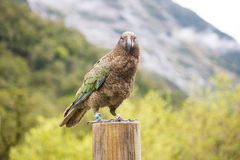 Kea ptak Zdjęcie Stock