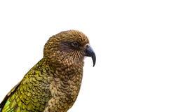 Kea ptak & x28; Nowa Zelandia Alpejski Parrot& x29; na białym blackground Obraz Royalty Free