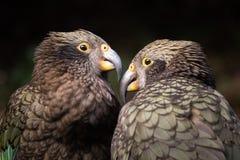 Wildlife bird image of native bird, Kea, in New Zealand stock images