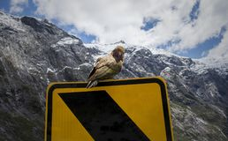 Kea Parrot Road Sign. A Kea on a road sign near Milford Sound New Zealand royalty free stock images