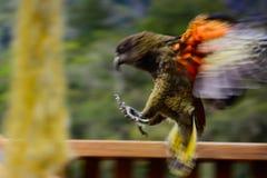 Kea's landing. A kea, an endangered native mountain parrot from New Zealand, prepares for landing Stock Image
