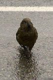 Kea. The kea  is a species of the small family of native parrots in and  lives in the area of Mount Cook in New Zealand. We saw the kea by the Homer Tunnel Royalty Free Stock Photography