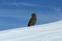 Kea sur la neige avec le ciel bleu derrière Image libre de droits