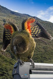 Kea about to fly. New Zealand native Kea (mountain parrot) with wings spreading showing colour under wings Stock Photos