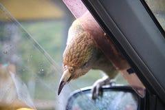 Native New Zealand Kea bird sitting on car mirror and trying to break inside with sharp beak, Arthurs Pass Village royalty free stock photography