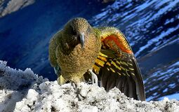 Kea wing colours. Stock Photo