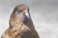 Kea, worlds only alpine parrot only found in New Zealand Stock Image