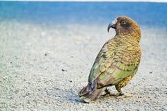 Kea - wysokogórska papuga Zdjęcia Stock