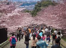 People walking along the tracks of a disused railway under beautiful cherry blossom trees. Keage Incline, Kyoto, Japan - April 5, 2017 : People walking along Royalty Free Stock Image