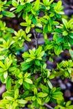 Keam-Blume stockbilder