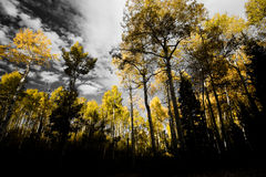 Kebler Pass Aspens Royalty Free Stock Photo