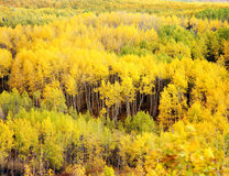 Kebler Pass Aspens. An aspen forest along Kebler Pass in the Gunnison National Forest of Colorado photographed during the autumn season Royalty Free Stock Image
