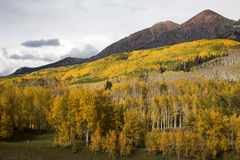 Kebler Pass Autumn. Fall Aspens on Kebler Pass rd near Crested Butte Colorado Stock Image