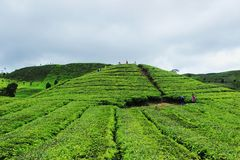 Tea plantation of Alahan panjang. West Sumatera Indonesia Royalty Free Stock Photo