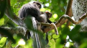KEDAH, LANGKAWI, МАЛАЙЗИЯ - 8-ое апреля 2015: Взрослые dusky обезьяна или langur лист сидят с обезьяной младенца litte стоковые изображения