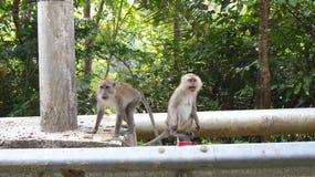 KEDAH, LANGKAWI, MALASIA - 9 de abril de 2015: Macaque de cola larga que se sienta al lado de la calle fotografía de archivo