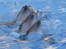 Kedja av delfin i delfinarium Arkivfoto