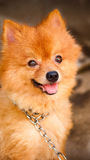 kedjad fast gullig hund men leende Royaltyfri Foto