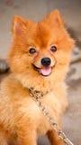 kedjad fast gullig hund men leende Arkivfoto