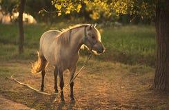 Kedjad fast häst på lantgården Royaltyfria Bilder