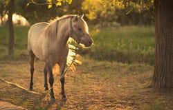 Kedjad fast häst på lantgården Arkivbild