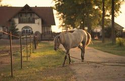 Kedjad fast häst på lantgården Fotografering för Bildbyråer