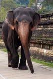 Kedjad fast indisk elefant royaltyfria bilder
