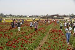 KEDMA IZRAEL, KWIECIEŃ, - 7, 2017: Ludzie podnosi kwiaty w jaskieru polu obraz stock