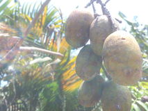 Kedondong-Früchte lizenzfreie stockfotografie