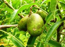Kedondong Spondias dulcis Forst Stock Photo