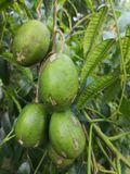 Kedondong Spondias Dulcius Forst. Tropical fruit native to South East Asia, oval shaped, olive green to golden yellow in colour. Commonly used to make drinks royalty free stock images