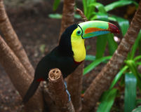 Kee billed Toucan Stock Image