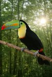 Kee billed Toucan bird colorful. Kee billed Toucan Ramphastos sulfuratus colorful Tucan bird royalty free stock images