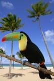Kee billed Toucan bird colorful. Kee billed Toucan Ramphastos sulfuratus colorful Tucan bird royalty free stock image