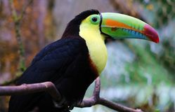 Keel billed colorful beautiful toucan in Costa Rica gorgeous tucan tucano stock photography