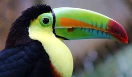 Keel billed colorful beautiful toucan in Costa Rica gorgeous tucan tucano royalty free stock photography