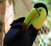 Keel billed colorful beautiful toucan in Costa Rica gorgeous tucan tucano stock images