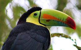 Keel billed colorful beautiful toucan in Costa Rica gorgeous tucan tucano. In Central America Royalty Free Stock Photo