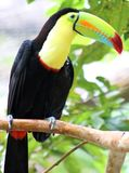 Keel billed colorful beautiful toucan in Costa Rica gorgeous tucan tucano. In Central America Stock Images