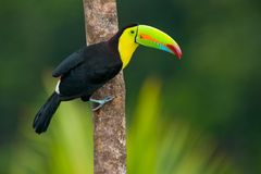 Keel Billed Toucan Royalty Free Stock Photos